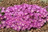 Delosperma (Ice Plant) cooperi Table Mountain 1,000 seeds
