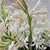 Tuberose single Mexican 5 Bloom size bulbs FRAGRANT