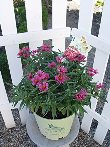 American Beauties Native Plants - Aster 'Alma Potchke' (New England Aster) Perennial, hot Pink, 2 - Size (Aster Daisy)