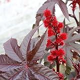 Outsidepride Gibsonii Castor Bean Plant Seed - 50