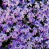 PHLOX SUBULATA 'BLUE EMERALD' - CREEPING PHLOX