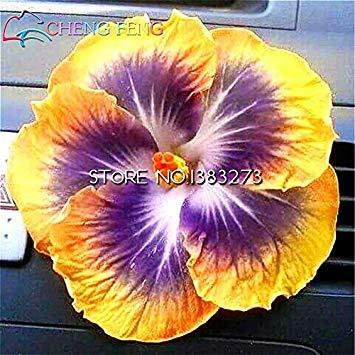 Teile Blumen Blumensamen Riesigen Semillas Einfach 100 beutel Klar Samen Mehrjã¤hrige Bonsai Hibiscus Pflanzen Zu Lady Fash Fã¼r Wachsen Hausgarten gvEHqq