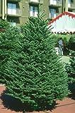 Tree Seeds Abies Procera Noble Fir Trees - 50 Seeds