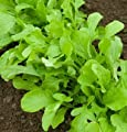 David's Garden Seeds Arugula D2891 (Green) 1000 Organic Seeds