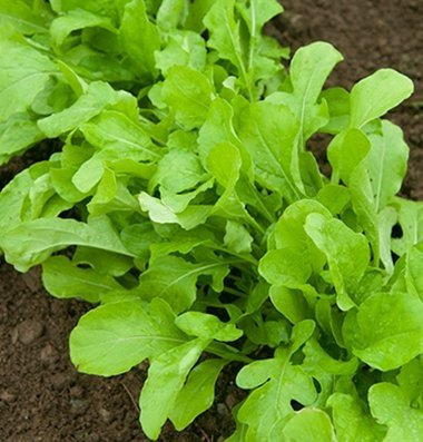 David's Garden Seeds Arugula D2891 (Green) 1000 Organic Seeds (Long Italian Pepper Seeds compare prices)
