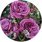 Plum Perfect Rose Bush Reblooming Sunbelt Rose - Double Fragrant Purple Flowers - Heat Resistant Own Root Grown Organic Potted - Stargazer Perennials