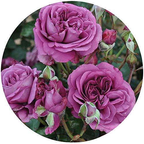 Plum Perfect Rose Bush Reblooming Sunbelt Rose - Double Fragrant Purple Flowers - Heat Resistant Own Root Grown Organic Potted - Stargazer Perennials by Stargazer Perennials