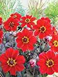 Yunakesa Dahlia Happy Single Romeo,(Tubers), Great Cut Flowers,Blooms,Summer to Fall (1 Tuber/Bulb)