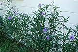 Mexican petunias Seed- Ruellia brittoniana 'Blue Star' 30 Seeds