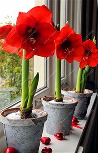 Es cierto Amaryllis Bulbos de la planta de jard/ín Hippeastrum Bulbos bonsai bulbos de flores Amarilis rizomas Bulbos Barbados Lily maceta 1 bombilla de 6