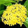 Plantsworld Ixora Dwarf Yellow Live Plant