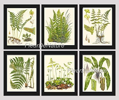 Botanical Set of 6 Prints Unframed Antique Beautiful Ferns Green Forest Nature Home Room Fern Decor Wall Art