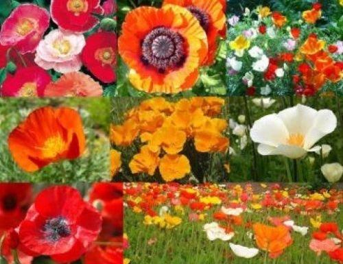 150 + Poppy Power Flower Mix Seeds Poppy Seed