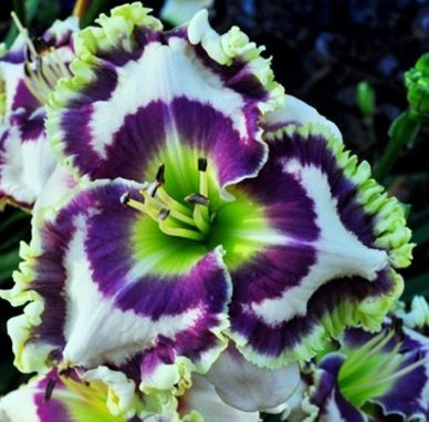 born-to-be-wild-phil-daylily-5-seeds-hemerocallis-upc-647923988956