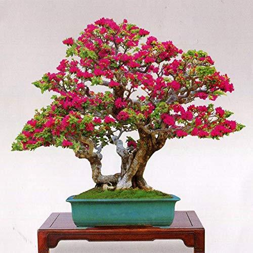 100 Mix-Color Bougainvillea spectabilis Tree Seeds Bonsai Plant Flower Seeds Blooming Plants ()