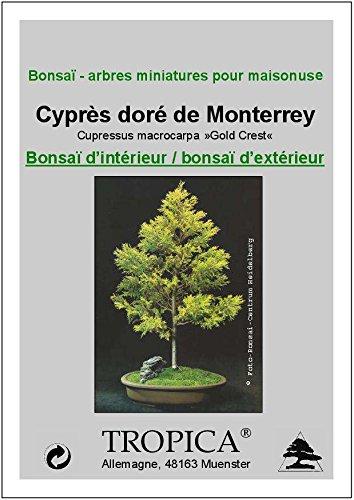 TROPICA - Cedro limón (Cupressus macrocarpa »Gold Crest«) - 50 semillas- Bonsai: Amazon.es: Jardín