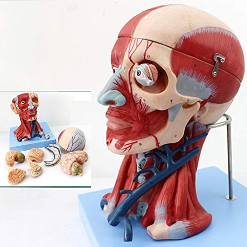 人間の解剖学的頭部モデル、実物大解剖顔脳首中央部研究、神経学頭頸部血管脳および脳モデルの指導