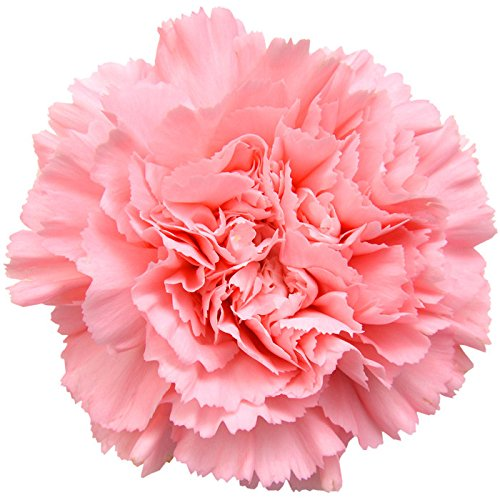 Carnations Light Pink