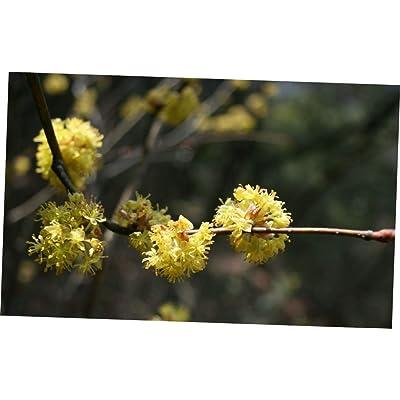 CJI 5 Seeds Lindera obtusiloba Spicebush Shrub - RK17 : Garden & Outdoor