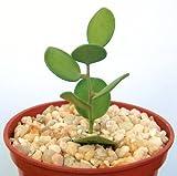 Xerosicyos danguyi, rare succulent plant cactus vine 4''