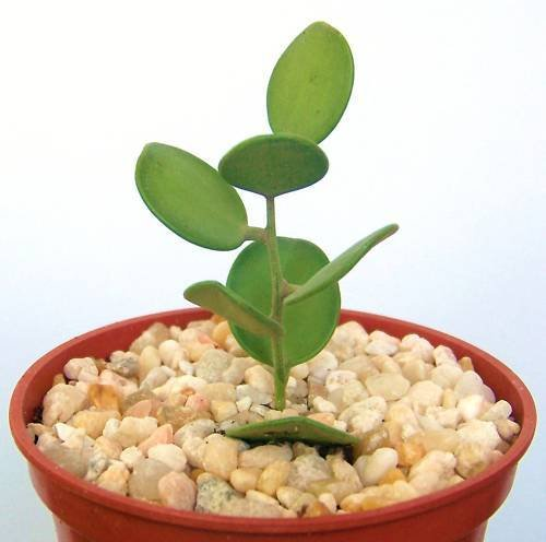Xerosicyos danguyi, rare succulent plant cactus vine 4'' by exotic_cactus_collection