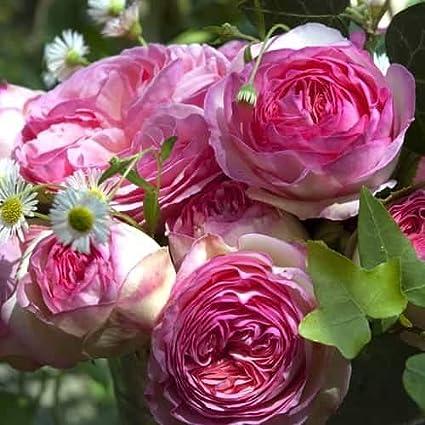Tomasa Samenhaus Wand,Garten 50 St/ück Bodendeckende Rose,Kletterrose Alchemist Blumensamen Saatgut winterhart mehrj/ährig Kordes Floribunda Rose Bl/ütenmeer f/ür Balkon