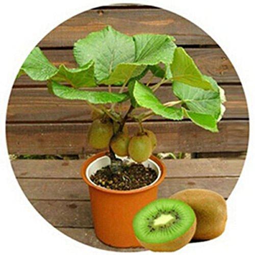 100pcs KIWI Seeds Delicious Healthy FRUIT Actinidia Vine Seeds Easy to - Kiwi Sweet Sex