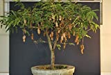 DWARF/bonsai Tamarind(Dwarf Tamarindus indica)5 fresh seedsdwarf fruit trees