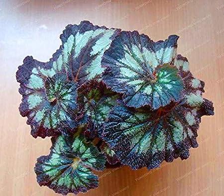 100pcs 24 Colors Coleus Bonsai Flowers Potted Bonsai Garden Courtyard Balcony