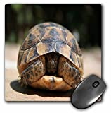 3dRose mp_167553_1 8' x 8' Land Turtle Hiding in Shell Young Spur-Thighed Tortoise Hiding in Carapace Mouse Pad