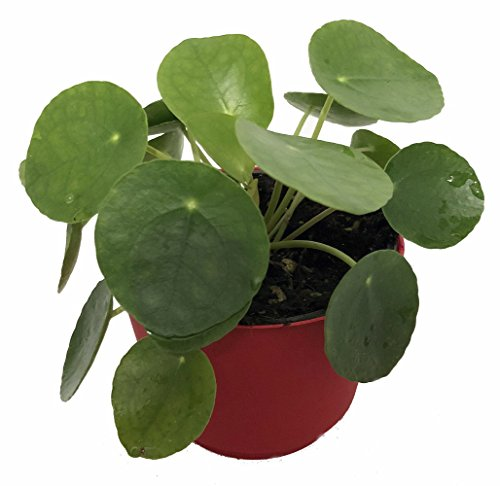 - Chinese Money Plant - Pass It On Plant - UFO Plant - Pilea peperomioides -4