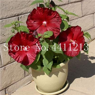 Amazon Kasuki Hot Sale 100 Pcs Giant Hibiscus Flower Bonsai