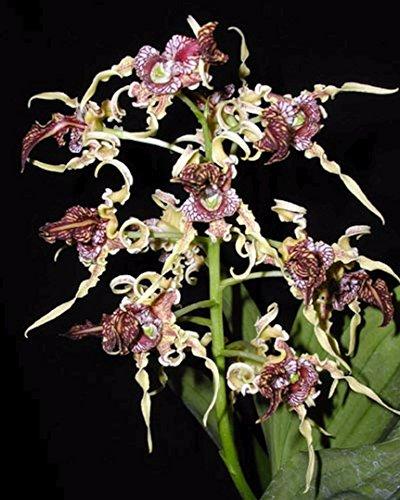 BIN Dendrobium spectabile 4N x self 2 1/4 S494