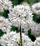 Graceful Allium 8 Bulbs - Persian Onion - 6/+ cm Bulb