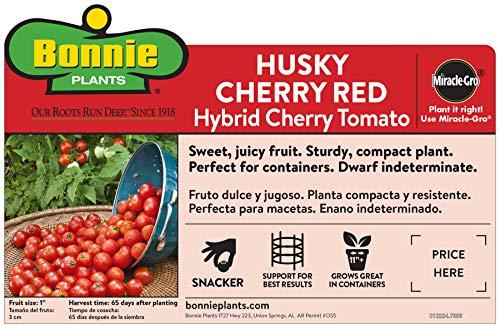 Bonnie Plants Husky Cherry Red Tomato Live Vegetable Plants - 4 Pack | Non-GMO | Bite Sized | Disease Resistant by Bonnie Plants (Image #2)
