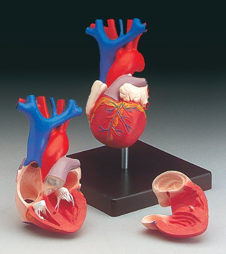 Budget Life-size Heart Model #CH7 by Anatomical Chart Co