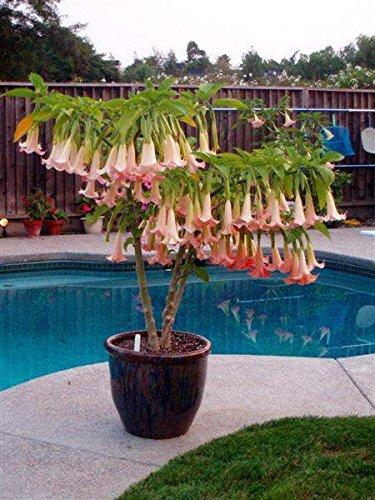 pink-angels-trumpet-brugmansia-cherub-most-floriferous-and-vigorous-angels-trumpet-1-year-live-plant