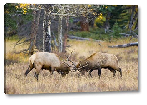 CO, Rocky MTS, Moraine Valley Bull elks Sparring by Fred Lord - 13