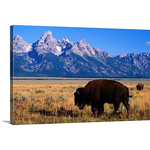 GREATBIGCANVAS Gallery-Wrapped Canvas Entitled American Bison on Antelope Flats, with Teton Range Beyond by 18