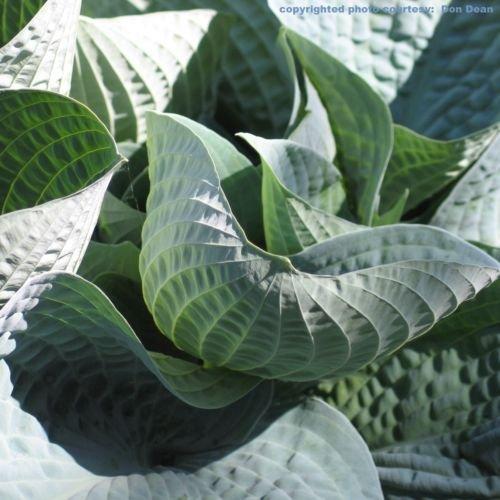10 plant hosta WISHING WELL large blue disease-free small 2