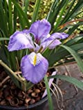 1 Starter of Iris Unguicularis - Iris Stylosa