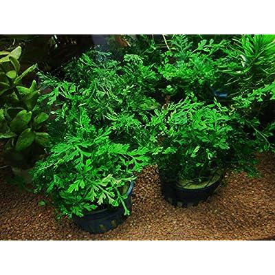 1 Bolbitis Difformis Pot 2 Inches Aquarium Plants AB022 : Garden & Outdoor