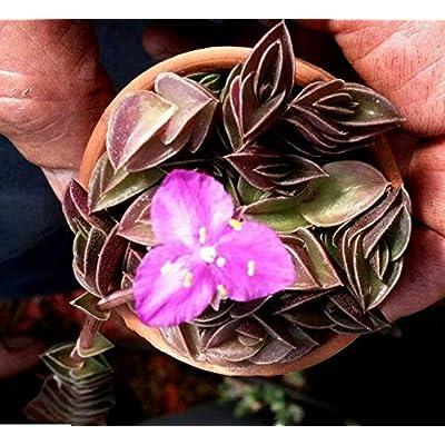 """Cheap (3) 2"""" Pots Chain/Inch Plant Tradescantia Navicularis Callisia Navicularis Easy Grow #RGR01YN : Garden & Outdoor"""