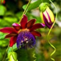 LOadSEcr's Garden 100Pcs Passiflora Passion Fruit Flower Seeds Non-GMO Ornamental Plants Yard Office Decoration, Open Pollinated Seeds - 1