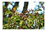Hovenia dulcis Japanese Raisin Tree 10 Seeds Bonsai or Tropical Gardening - Unique Look Container or Standard Gardening