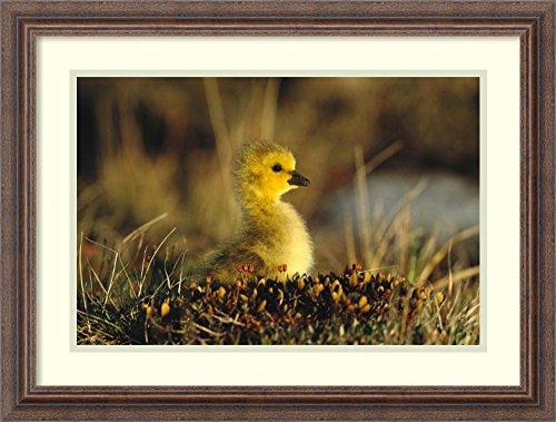 Framed Art Print 'Canada Goose gosling, Churchill, Manitoba, Canada' by Tom Vezo Churchill Manitoba Canada