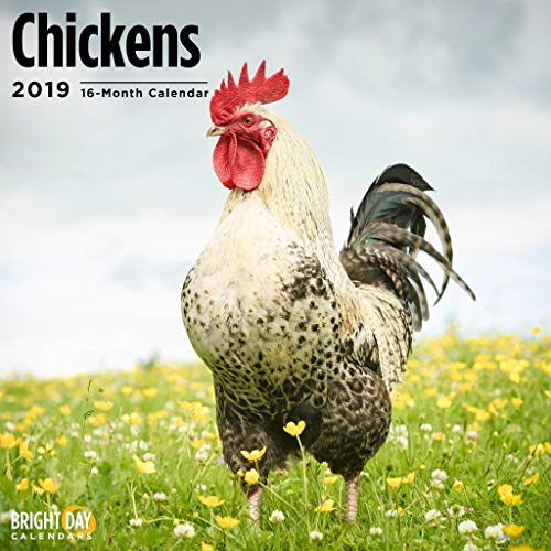 Chickens 2019 16 Month Wall Calendar 12 x 12 Inches