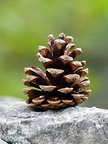 Tree Austrian Pine (Sheffield's Seed Co Inc Austrian Pine Tree Cones Weddings)