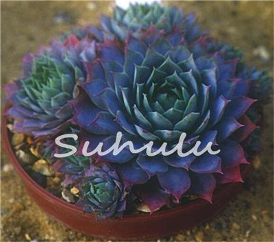 Seeds Shopp 200 Pcs Sale!Hens And Chicks Succulent Mix Seeds (Sempervivum Hybridum) Bonsai Plant Flower Seeds For Home Garden