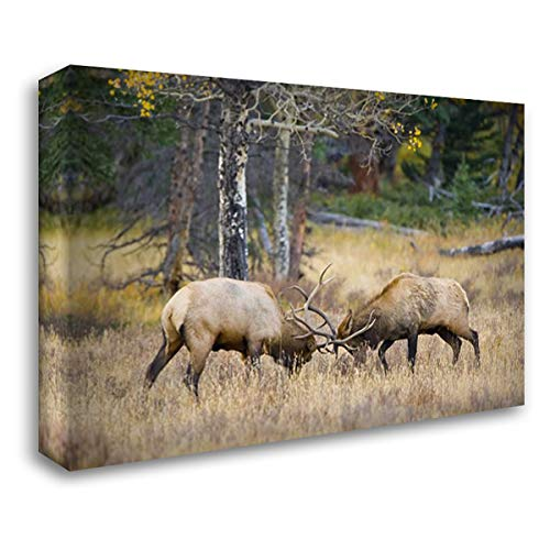 CO, Rocky MTS, Moraine Valley Bull elks Sparring 38x27 Gallery Wrapped Stretched Canvas Art by Lord, Fred